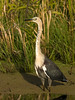 White-necked Heron (Ardea pacifica) by David Cook Wildlife Photography