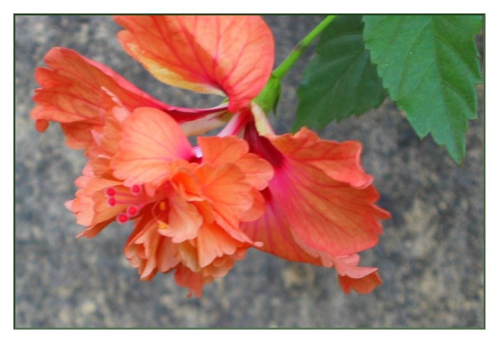 Shoe Flower Hibiscus Rosa Sinensis Malvaceae Common Name Flickr