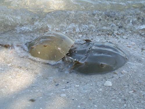 Horseshoe Crabs Doin' It