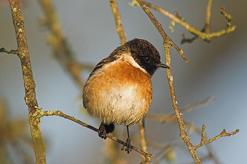 STONECHAT | by Sparkyfaisca