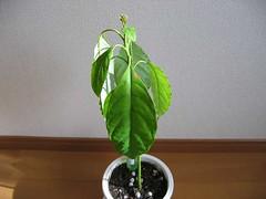 Avocado Growing Project #16 | by skyseeker