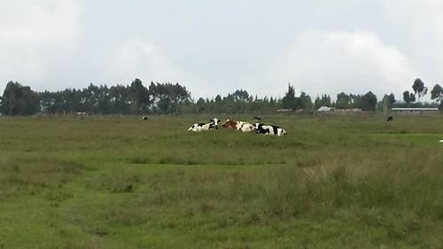 kenya kenyawork cattle cow grazing