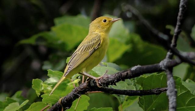 Paruline jaune ----- American yellow warble ----- Reinita de manglar