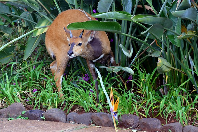 Bushbuck amongst the garden flowers - Aberdare Country Club, near Mount Kenya.