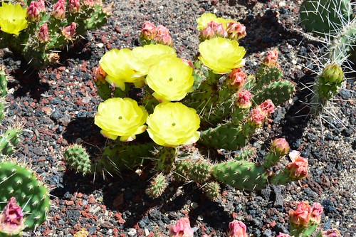 Opuntia columbiana Apricot Dreams 2015.6.7.1 | by geodesert