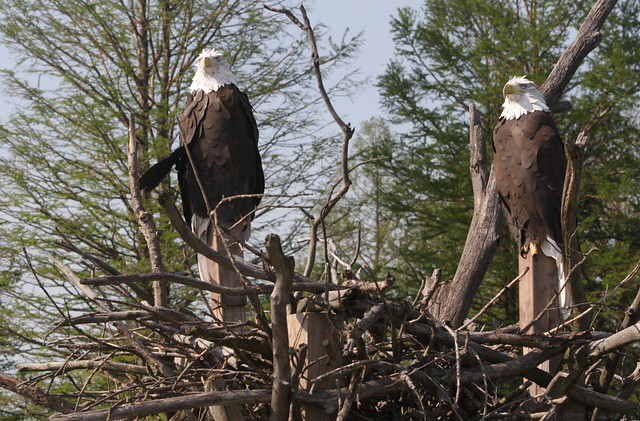 Magee Marsh eagles - not shy at all!