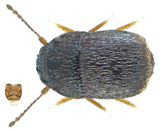 Acrotrichis brevipennis (Erichson, 1845)