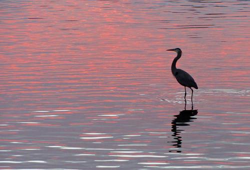 pink heron water sunrise florida stuart blueheron southfork saintlucieriver