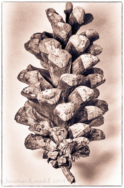 Sugar Pine Cone, High Key