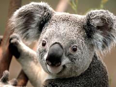Mon, 2008-02-11 11:32 - Koala