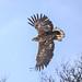 Harald Enge - The Majestic Eagle