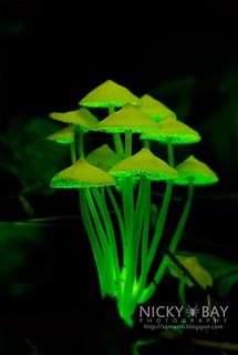Bioluminescent Fungi (Filoboletus manipularis) - DSC_2563