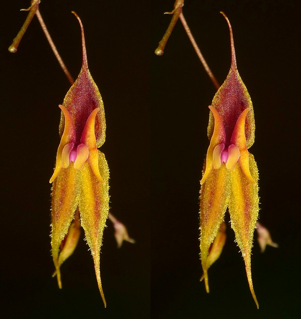 Lepanthes sp. nov.? ID26 in 3D