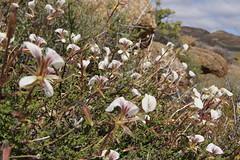 Pelargonium praemorsum subsp. praemorsum