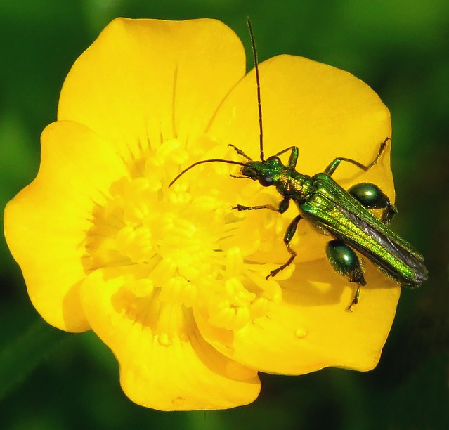 Beetle  (Oedemeridae)
