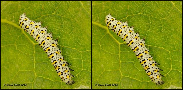 Mullein moth caterpillar - 3d cross-view