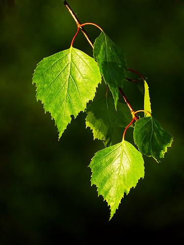 sunset summer green nature sunshine closeup branch sony latvia sunlit leafs lettland aluksne latvija daba lapas lettonie saulriets alūksne hx400v