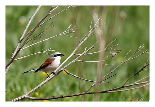 Lanius collurio - Red-backed Shrike | by Marc Nollet