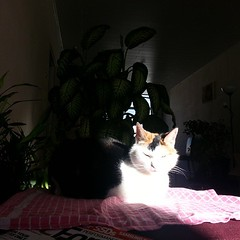 Poek found a spot in the sun so bright, her white fur is blinding