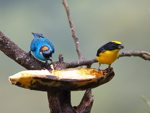 Golden-naped Tanager and Thick-billed Euphonia | by Oleg Chernyshov