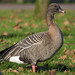 Pink-footed Goose - Photo (c) Leon van der Noll, some rights reserved (CC BY-NC-ND)