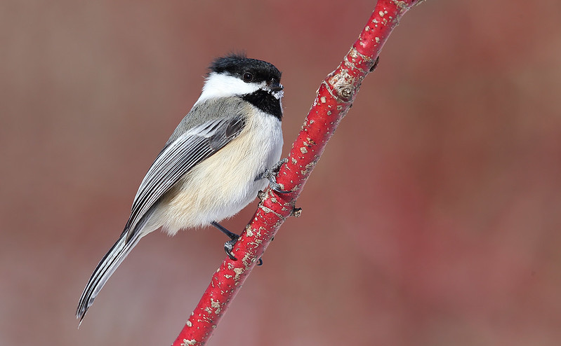 A beautiful Black-capped Chickadee on a Dogwood