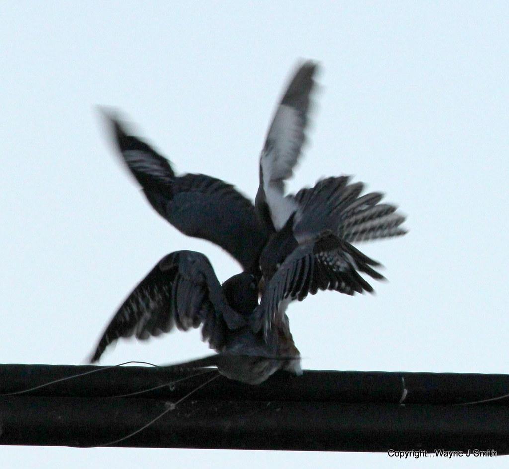 1-Kingfishers..Jackson 07-16-2013 059