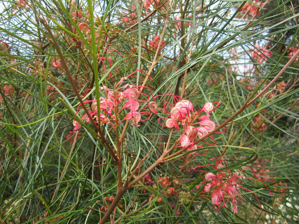 Grevillea Long John Flowers Entireleaves Flickr
