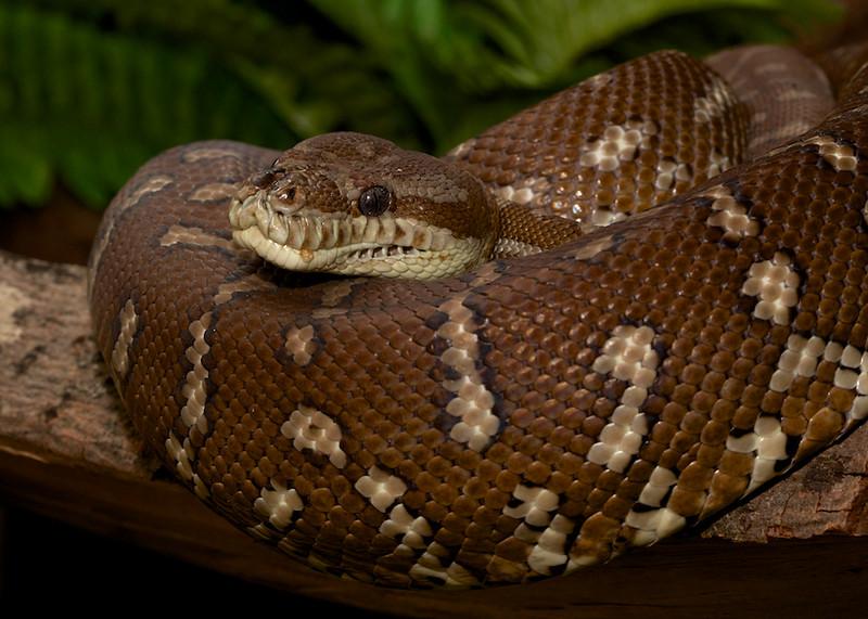 Slange i en kveil