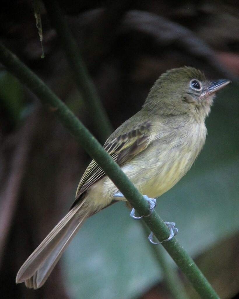 Rhynchocyclus olivaceus / Picoplano oliváceo / Olivaceous flatbill