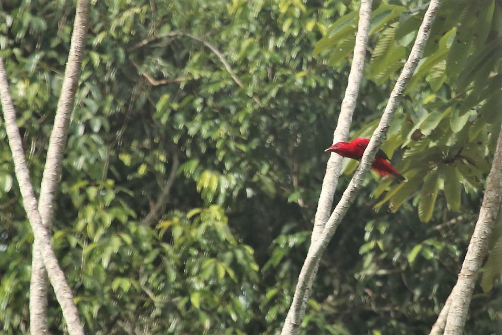 Crimson fruit crow Iwokrama Forest in Guyana