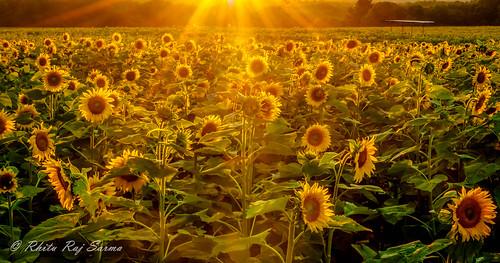 landscape farm sunflower buttonwood buttonwoodfarm