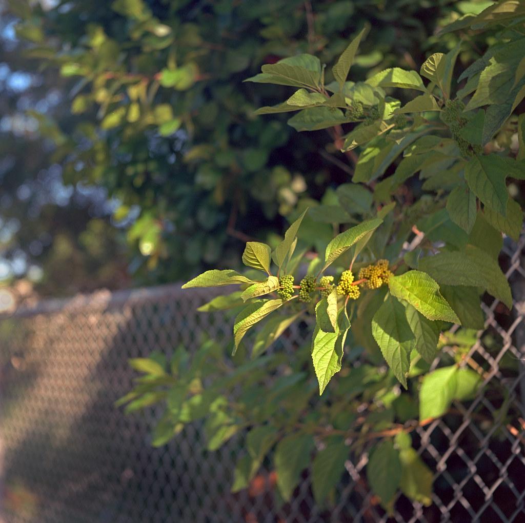 Green Beautyberries (Ikoflex)