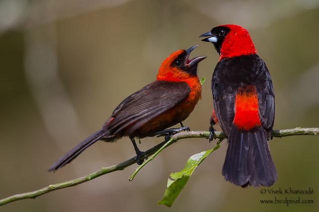 Masked Crimson Tanager - Amazonia Lodge, Nr. Manu National Park, Peru