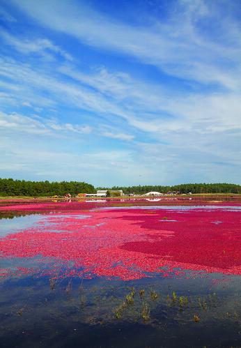 farm massachusetts harvest cranberry wareham cranberrybog plymouthcounty makepeacefarms