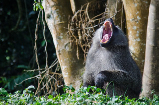 Fanged Baboon Yawn | by BetterLifeCycle