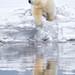 Kaktovic Polar Bear