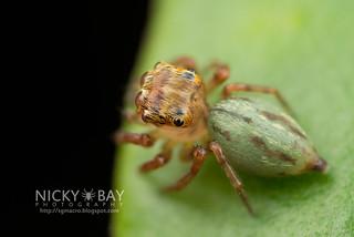 Jumping Spider (Pancorius sp.) - DSC_6835