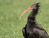 Northern Bald Ibis (Geronticus eremita). by SimonBrumby