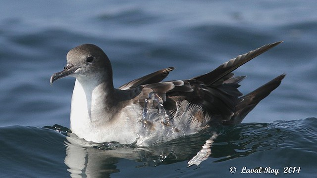 1.01723 Puffin fouquet / Puffinus pacificus / Wedge-tailed Shearwater
