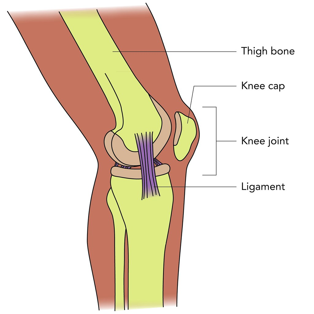 Knee structure   Illustration used in Gr 4-6 Natural Science…   Flickr