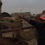 Befriending a camel.. she is sweet!