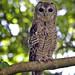 Oiseaux - Strigiformes