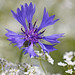 Flickr photo 'Centaurea cyanus BS280513-056' by: Sarah Gregg Petriccione.