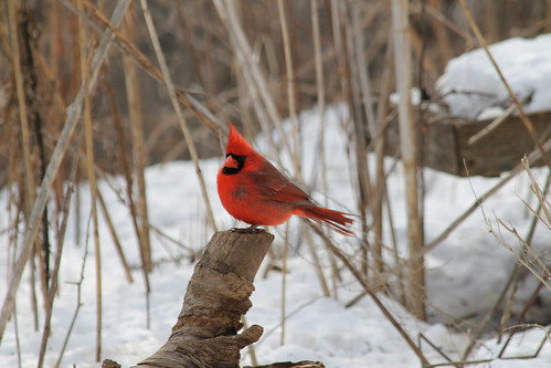 Northern cardinal | by U.S. Fish and Wildlife Service - Midwest Region