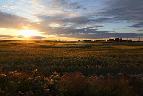 field barley sunrise goldenhour calgarycanada canon6d canonef2470f28iiusm