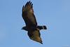 Gavilán Zamuro / Zone-Tailed Hawk (Bute Albonotatus) Hembra/Female by Erick Houli
