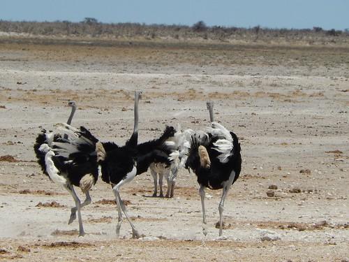 Etosha NP - struisvogels rennen