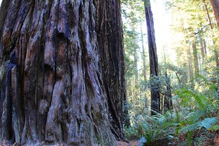 Old Redwood Bark, young one | by daveynin