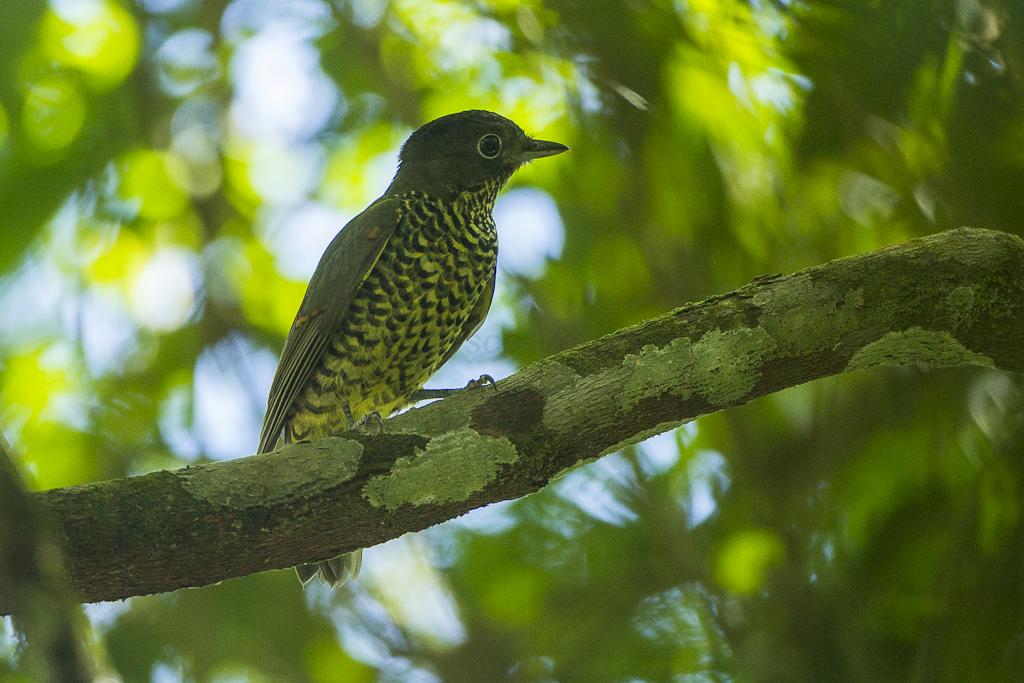 Shrike-like Cotinga - REGUA - Brazil_S4E1690
